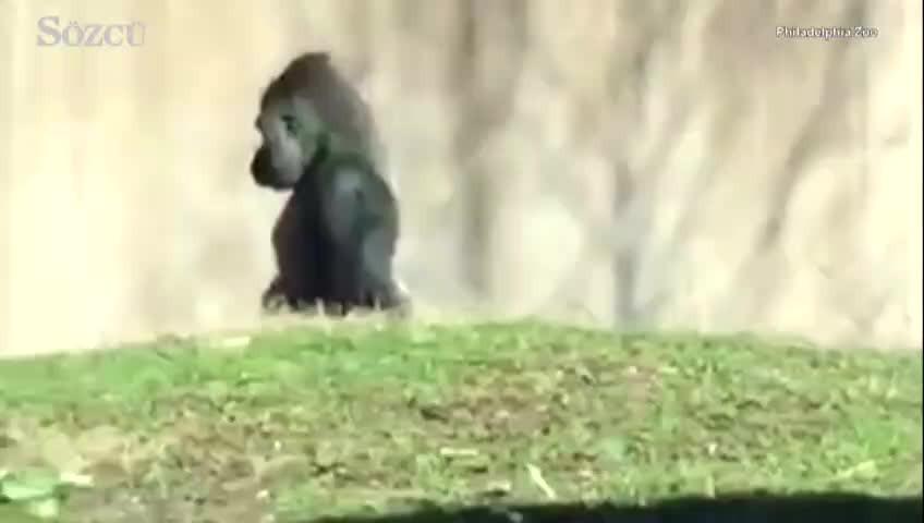 Bu gorili görenler gözlerine inanamıyor!
